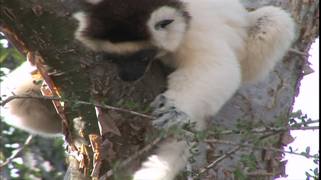 cu ms  lemur siting on branches and eating leaves / solukhumbu district, sagarmatha zone, nepal - mt everest national park stock videos and b-roll footage
