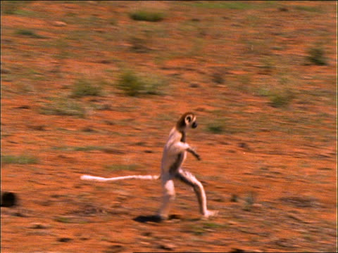 lemur (verraux's sifaka) skipping across plain - anno 1997 video stock e b–roll
