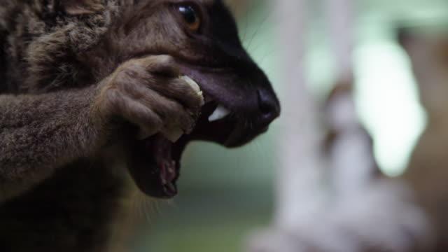 Lemurs eating corn in animal shelter