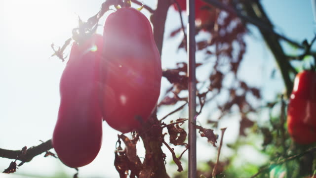 lens flare — red peppers hang to a wilted plant at the end of season in a farm-to-table organic garden. - farm to table stock videos & royalty-free footage