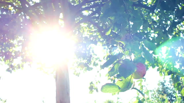 Lens flares and an apple tree