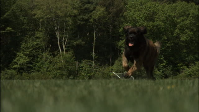 vídeos de stock e filmes b-roll de leonberger dogs run across a grassy field. - grande