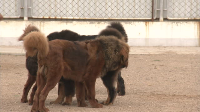 leonbergers wag their tails in a large group before following a man across a track. - 尾点の映像素材/bロール
