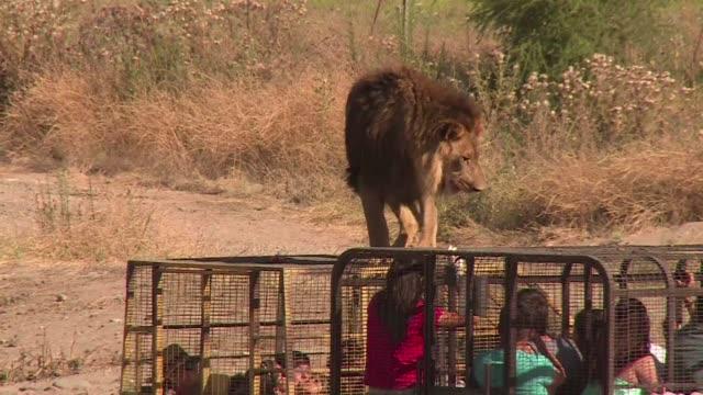 vídeos y material grabado en eventos de stock de leones osos monos y una elefanta que padecieron diversos maltratos en circos son algunos de los animales rescatados y rehabilitados en el parque... - animales de safari