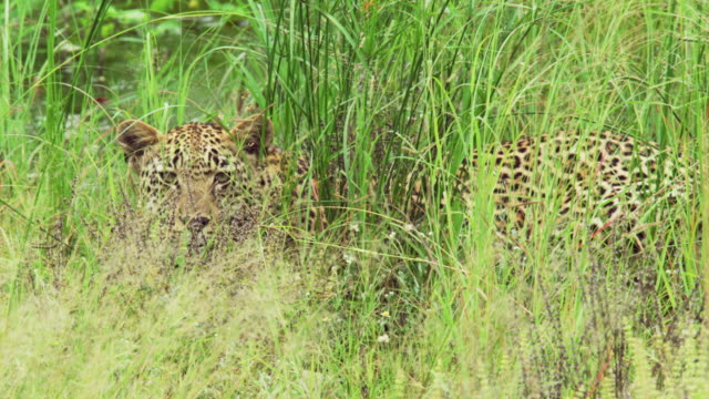 a leopard amongst long grass in kruger national park - tarnung stock-videos und b-roll-filmmaterial