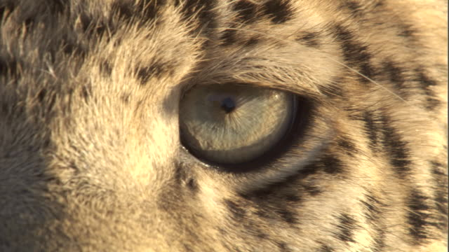 a leopard blinks. - animal eye stock videos & royalty-free footage
