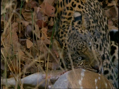 cu leopard (panthera pardus) chewing on chital deer (axis axis) carcass, bandhavgarh national park, india - tierhaut stock-videos und b-roll-filmmaterial