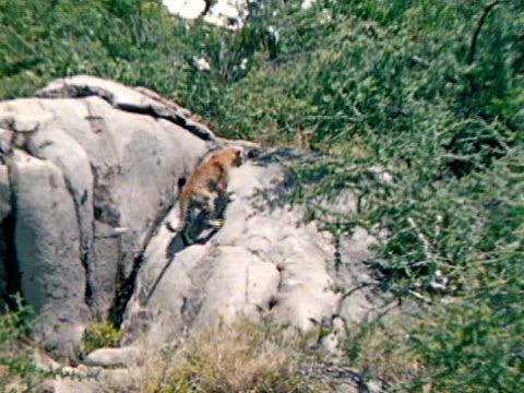 vídeos de stock, filmes e b-roll de leopard climbing large boulder, rock. - boulder rock