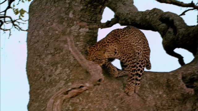 A leopard climbs down a huge tree and investigates a hole in the trunk.
