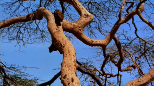 a leopard climbs down a tree. - ヒョウ点の映像素材/bロール