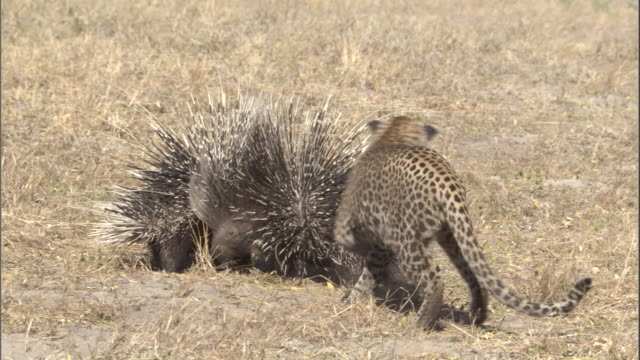 a leopard cub circles porcupines with their quills raised. - leopard stock videos & royalty-free footage