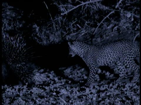 vídeos de stock, filmes e b-roll de leopard cub follows porcupine, porcupine rattles quills, cub then backs off and sits down, south luangwa national park, zambia - pelagem do animal
