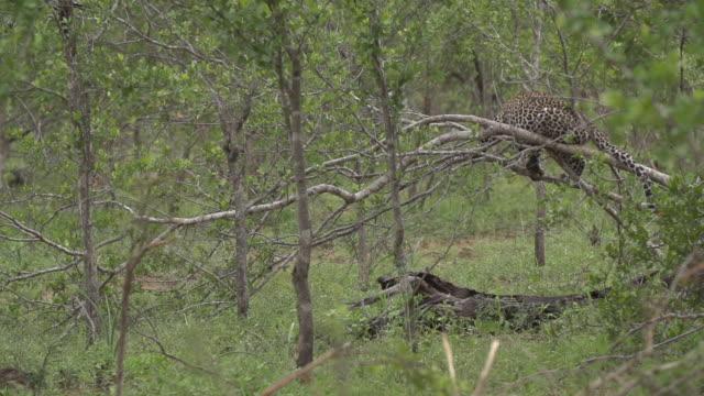 vídeos y material grabado en eventos de stock de leopard cub jumps down from springy branch and walks away , kruger national park, south africa - felino grande