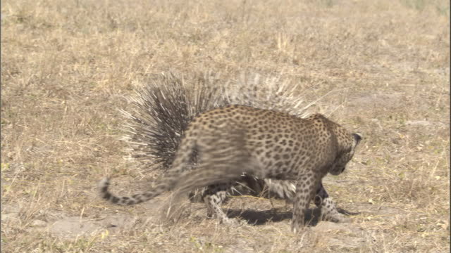 A leopard cub lies down playfully near porcupines.