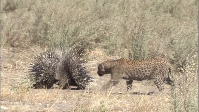 a leopard cub pauses near porcupines with their quills raised defensively. - とげ点の映像素材/bロール