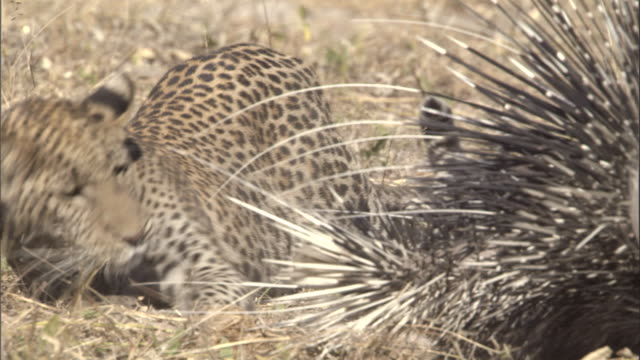 A leopard cub plays with porcupines.