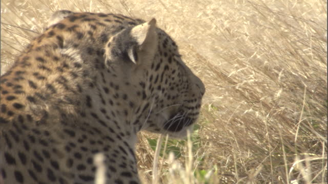 """a leopard cub rests in blowing grass. - """"bbc natural history"""" stock videos & royalty-free footage"""