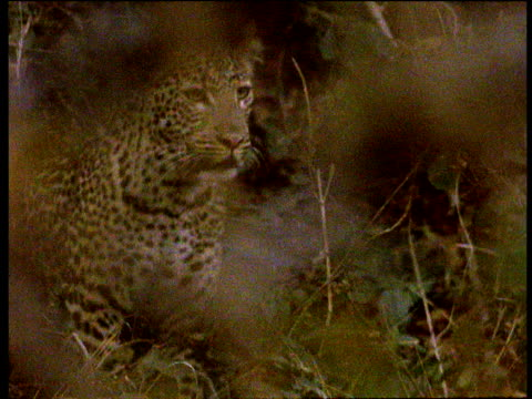 leopard cub runs through undergrowth, south luangwa national park, zambia - animal markings stock videos & royalty-free footage
