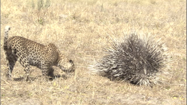 A leopard cub walks around a porcupine and pats its quills.
