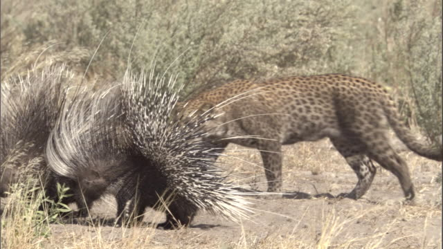a leopard cub walks around porcupines with their quills raised defensively. - とげ点の映像素材/bロール