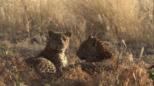 "stockvideo's en b-roll-footage met leopard cubs rest in a savannah. - ""bbc natural history"""