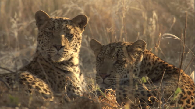 "stockvideo's en b-roll-footage met leopard cubs rest together on a savannah. - ""bbc natural history"""
