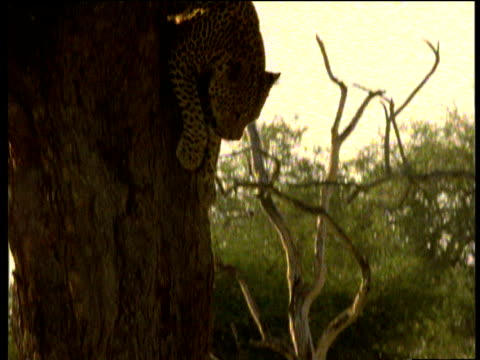 leopard descends from tree, south luangwa national park, zambia - animal markings stock videos & royalty-free footage