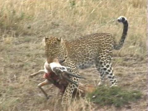 pan ws leopard dragging gazelle  - antelope stock videos & royalty-free footage