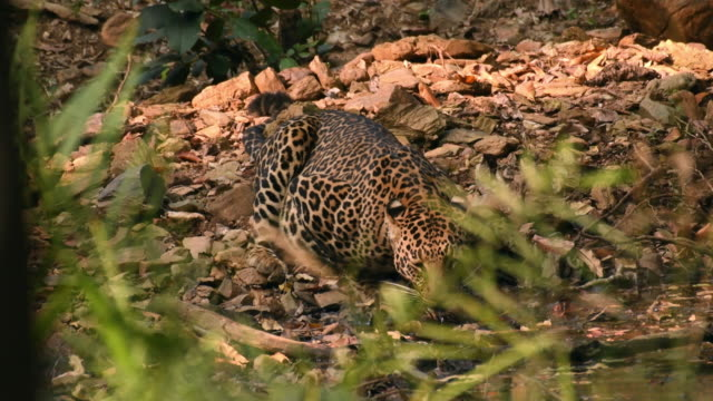 leopard drinking water in its natural habitat - hunting stock videos & royalty-free footage