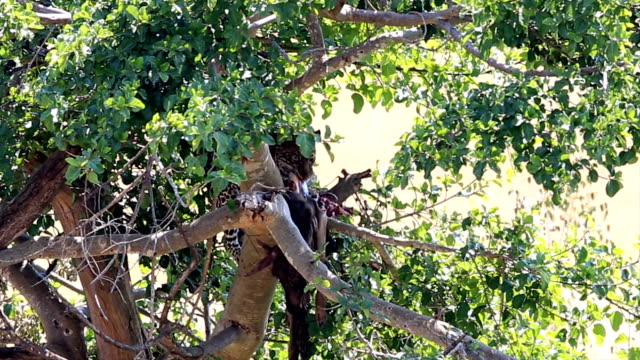 leopard eating freshly killed antelope on the tree - antelope stock videos & royalty-free footage