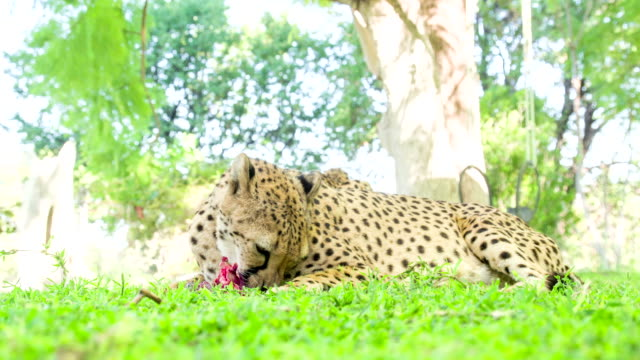 LS Leopard Eating Meat