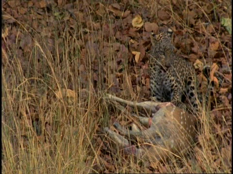 ms leopard (panthera pardus) feeding on chital deer (axis axis) carcass, bandhavgarh national park, india - tierhaut stock-videos und b-roll-filmmaterial