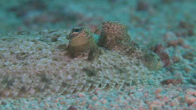 leopard flounder (bothus pantherinus), portrait, ecu, monad shoa, malapascua, philippines - flounder stock videos & royalty-free footage
