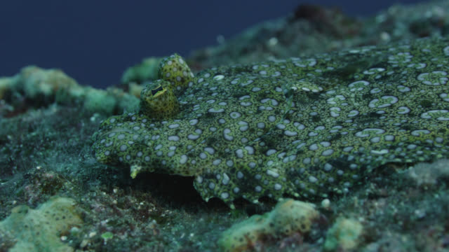 leopard flounder (bothus pantherinus) rests on sea bed. japan - camouflage stock videos & royalty-free footage