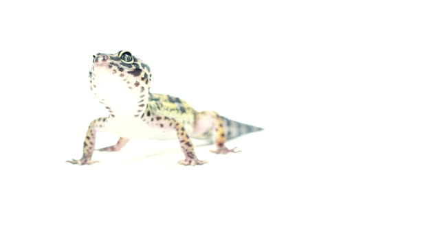 leopard gecko on white background - lizard stock videos and b-roll footage
