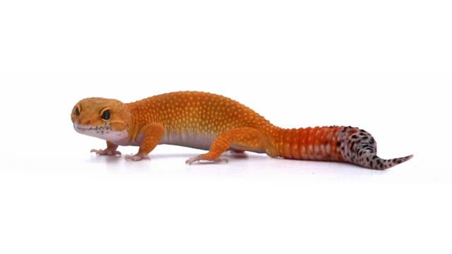 vídeos y material grabado en eventos de stock de geco leopardo - reptile