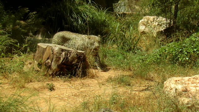 leopard going around the stump - moving up stock videos & royalty-free footage