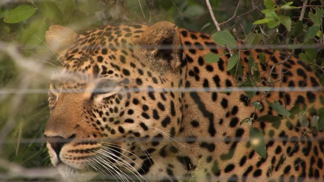 a leopard hides in the woodlands behind a wire fence. available in hd. - animals in captivity stock videos & royalty-free footage