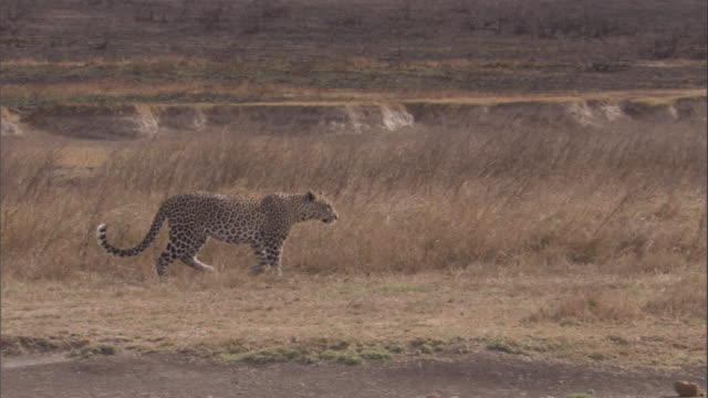 a leopard hunts for prey on the edge of the burnt savanna. available in hd. - ヒョウ点の映像素材/bロール
