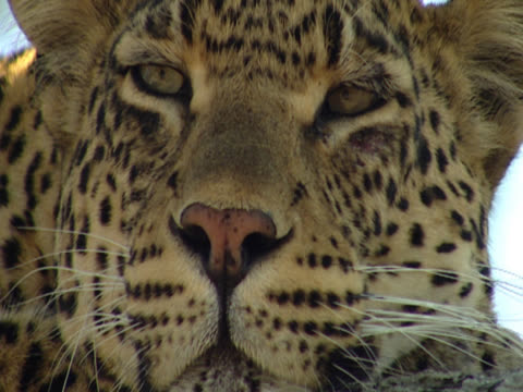 a leopard (panthera pardus) in mala mala, south africa. extreme close up of the animalaes face as it sits in the sun, blinking intermittently. - großwild stock-videos und b-roll-filmmaterial