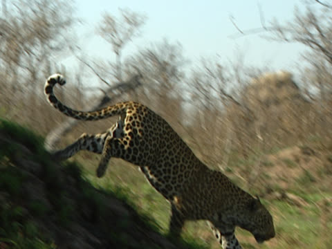 A leopard (Panthera pardus) in Mala Mala, South Africa. Seated on a high rock to begin, the beast launches itself downwards onto flat plains and runs at speed through trees and grass.