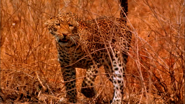 a leopard in tall grass hisses as it walks. - aggression stock videos & royalty-free footage