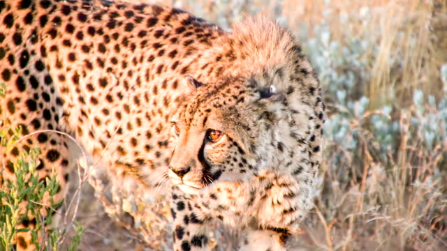 slo mo ms leopard in the savannah - cheetah stock videos and b-roll footage