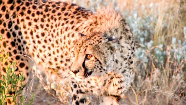 SLO MO MS Leopard In The Savannah