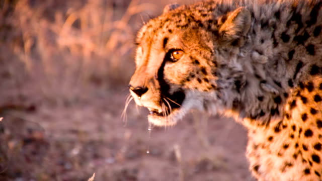 slo mo cu leopard in the savannah - cheetah stock videos and b-roll footage