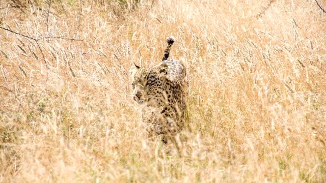MS TS Leopard In The Savannah
