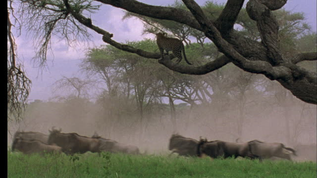 leopard in tree watches wildebeest run underneath it, tanzania available in hd. - ヒョウ点の映像素材/bロール