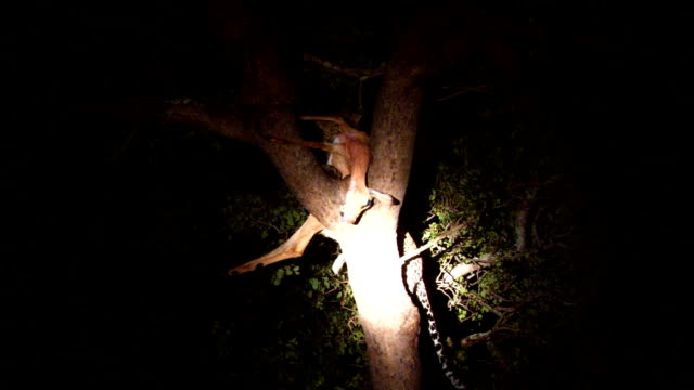 stockvideo's en b-roll-footage met leopard in tree with impala carcass/ kruger national park/ south africa - hongerig