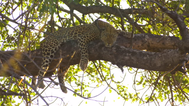 Leopard in Tree with Sunset