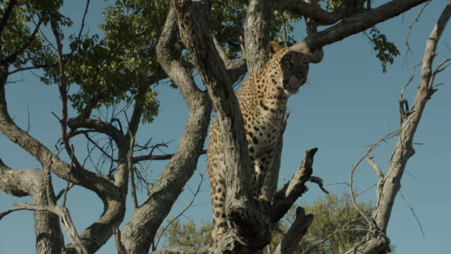 Leopard Jumps Into A Tree